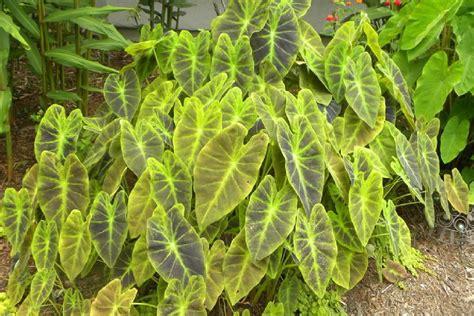 polynesian produce stand imperial taro colocasia esculenta illustris ornamental elephant ear