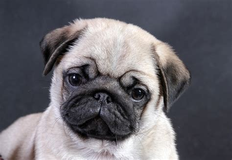 pug screen saver pug wallpaper screensaver background pug puppy puga pug