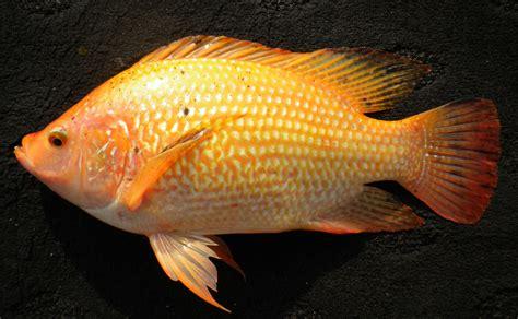Bibit Nila Merah tips memilih bibit dan induk ikan nila bibitikan net