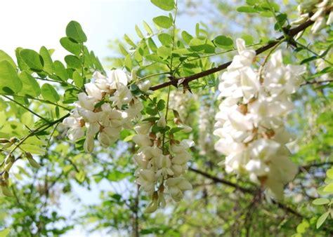 fiori acacia i fiori d acacia fritti viaggiando in toscana