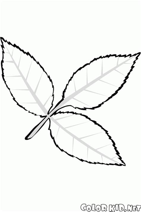 ash leaf coloring page images coloring page leaf ash