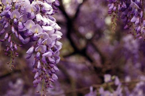 pianta di glicine in vaso glicine come coltivarlo in casa o in vaso pourfemme