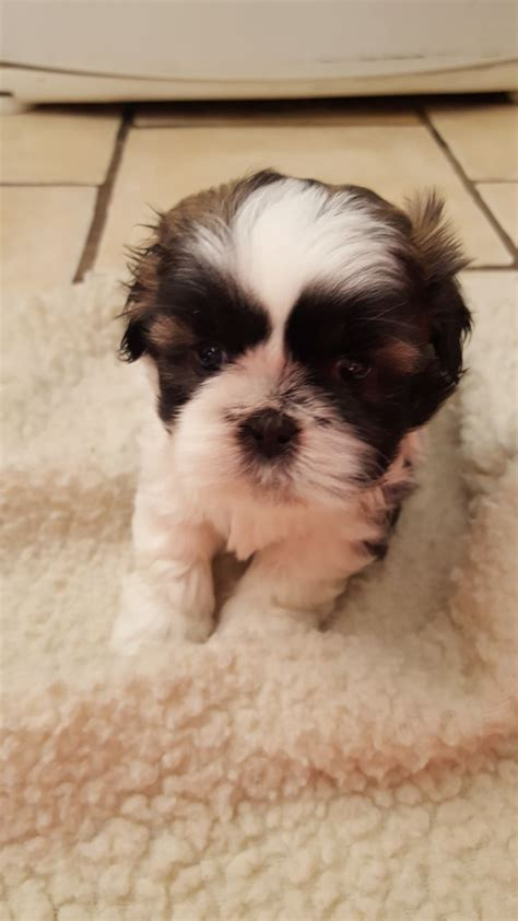 shih tzu puppies for sale in hull pedigree shihtzu puppies hull east of pets4homes