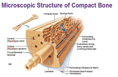 compact bone diagram cartilage and bones
