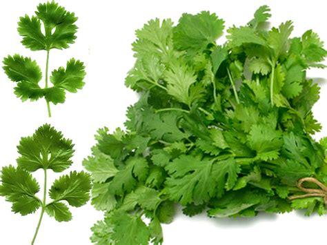sedano controindicazioni coriandolo prezzemolo cinese erba aromatica uso e