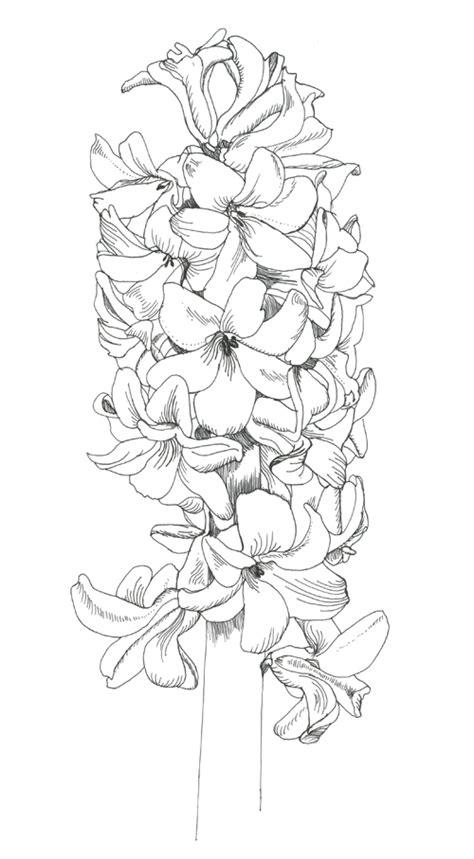hyacinth phase