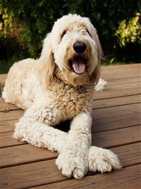goldendoodle puppy traits goldendoodles goldendoodle and golden doodles on