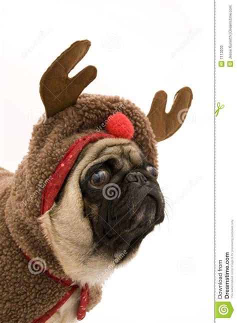 reindeer pug reindeer pug stock photos image 7113203