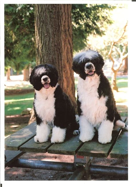 do dogs water portuguese water dogs portuguese water dogs