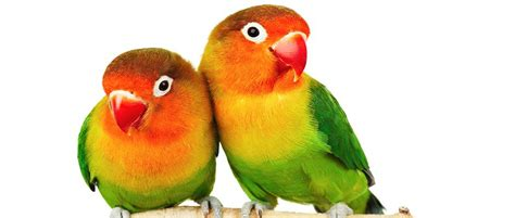 love bird rescue faced lovebird just for petsjust for pets