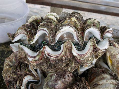 oyster shell oyster shell oyster