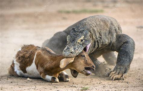 ataque de um dragao de komodo stock photo  surzet