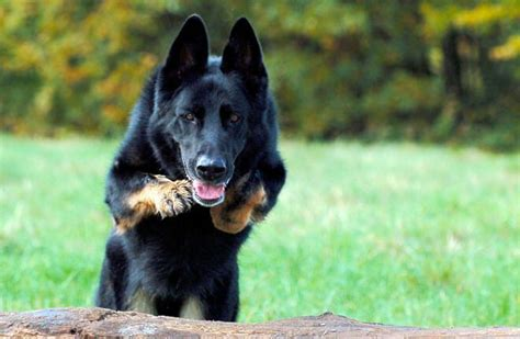 cani da casa come addestrare un da guardia e da difesa per la casa
