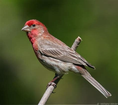 uccelli esotici da gabbia uccelli da gabbia ciuffolotto messicano