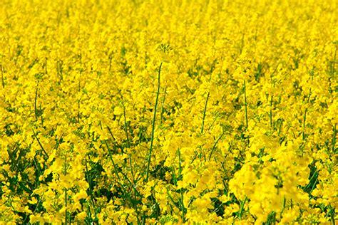 olio colza alimentare l olio di colza fa pareri a confronto