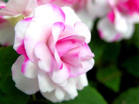 mooie bloemen afbeeldingen meiklokjes wallpapers mooie bloemen achtergrond rose