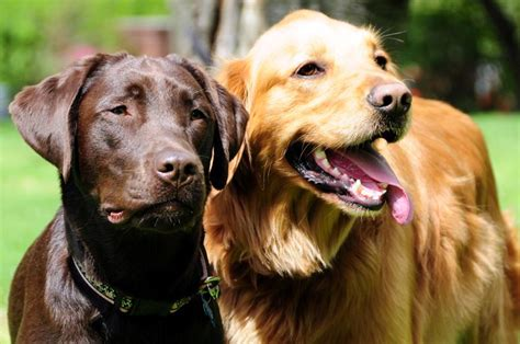 chocolate lab x golden retriever chocolate lab and golden retriever the of my pet all things puppy