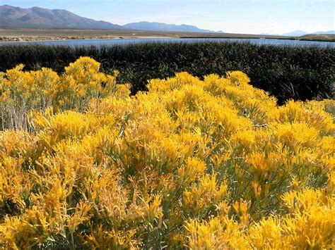 Botanical Home Decor by Nevada State Flower The Sagebrush Proflowers Blog