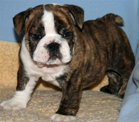 brindle bulldog puppies pin by endar vitria on baby animals