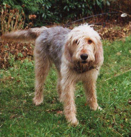 otterhound puppies otterhound puppies breeders otterhounds