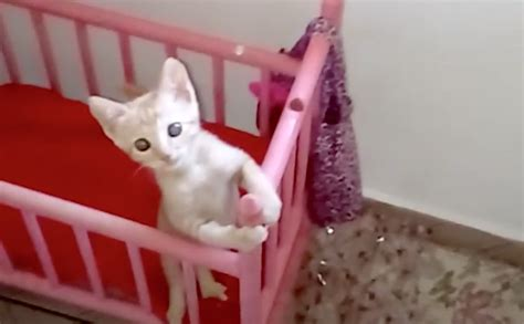Cat In Baby Crib by Kitten Waits In Crib For Bottle