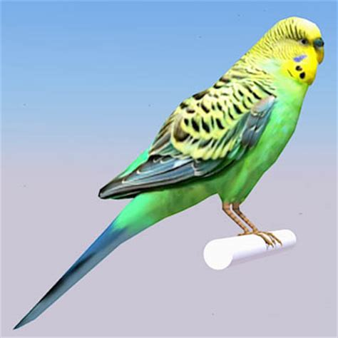 Budgerigar / Parakeet 3D Model   FormFonts 3D Models
