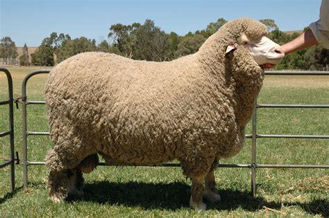 Merino Wool merino knitting wools purchase soft and chunky merino