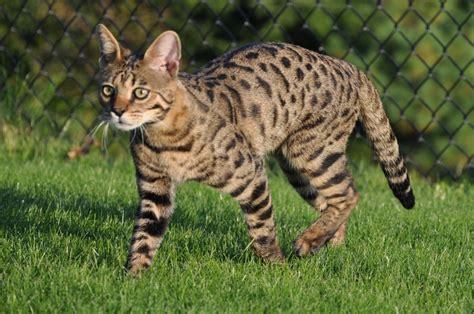 Color Patterns   Savannah Cat   Select Exotics