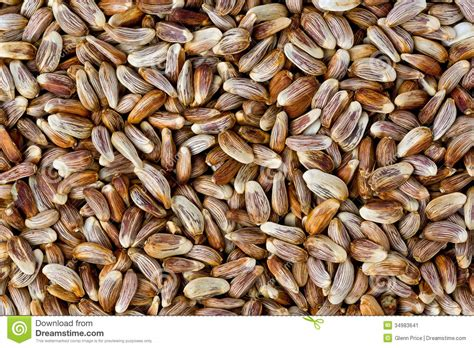 safflower seeds carthamus tinctorius stock image image