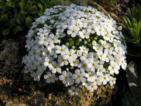 fiori per giardino roccioso fiori per giardino piante perenni giardino con fiori