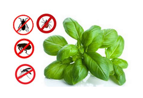 multi purpose basil bug repellent step into my green world stepin2
