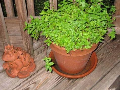 coltivazione in vaso coltivazione menta orto