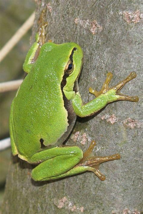 Rzekotka drzewna – Wikipedia, wolna encyklopedia M 2300 K