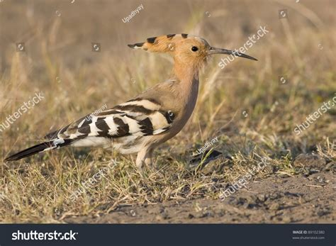 bird with colored beak fawn colored bird beak found stock photo 89102380