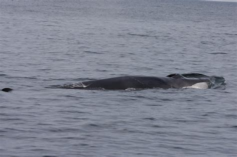 whale season cape cod morgithology fin whale at cape cod