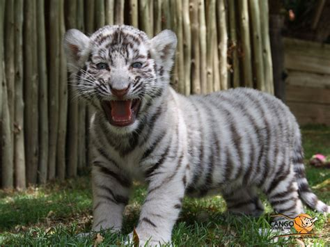 baby tiger with big tiger with images tiger wallpapers free white cub animal hd