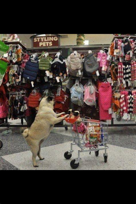 pug store 17 best images about cutiest funniest dogs in the world pugs on