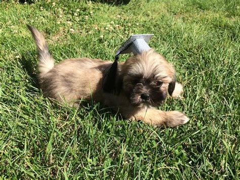 leslie desmond shih tzu 1000 images about puppy breeders on rhode island connecticut and for sale