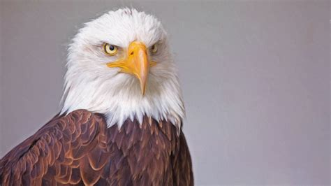 wallpaper 4k eagle bald eagle portrait 4k wallpaper uhd images