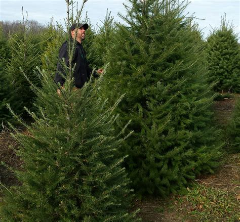 michigan christmas tree association tree shortage to be felt slightly in michigan crain s detroit business