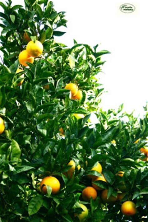giardino degli esperidi agrumi il giardino delle esperidi
