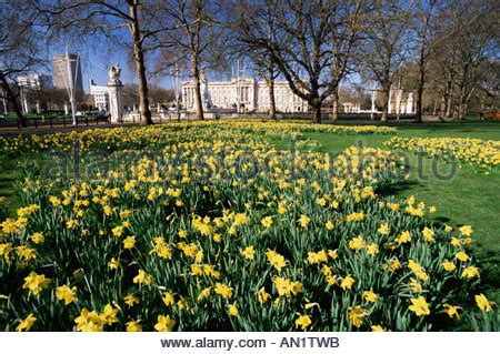 background green park london daffodils in green park buckingham palace london england