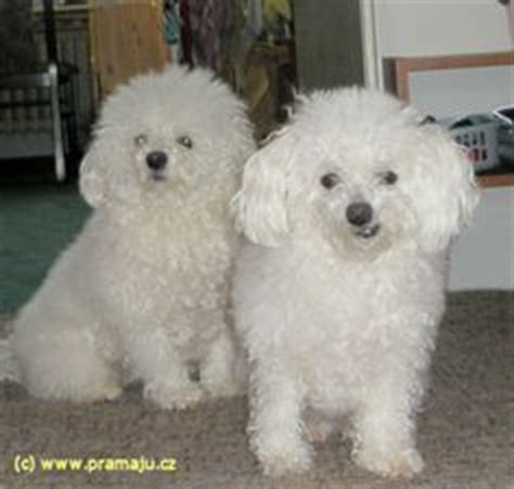 Do Bolognese Dogs Shed by The Bolognese Is A Small Breed Of Of The Bichon Type