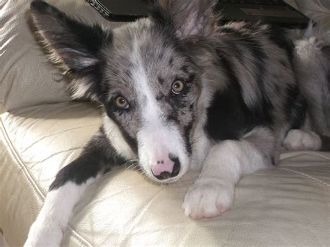 merle border collie puppies blue merle border collie puppies