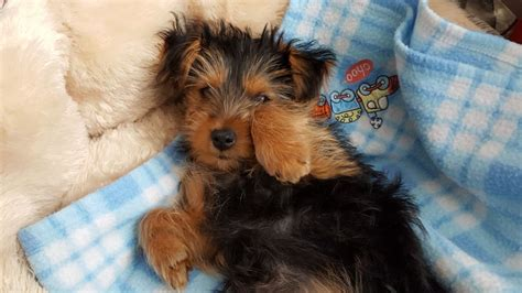 4 week yorkie puppy 15 week yorkie puppy for sale wallasey merseyside pets4homes