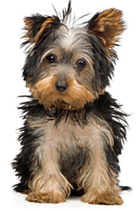 do teacup yorkies shed yorkie barking is your terrier barking breeds picture