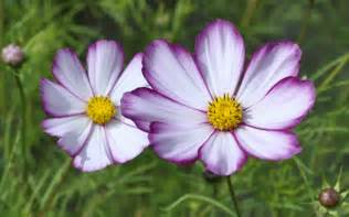 plant of the day cosmos david s garden diary