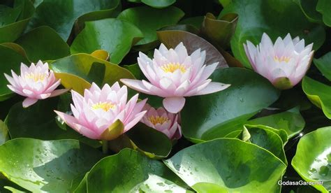 The Lotus Plant And The Lotus Plant God As A Gardener