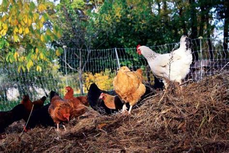 backyard poultry naturally providing natural poultry feed homesteading and