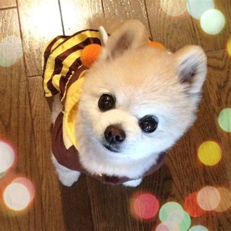 shunsuke pomeranian for sale 76 best images about shunsuke 俊介 on boo puppy pomeranian dogs and
